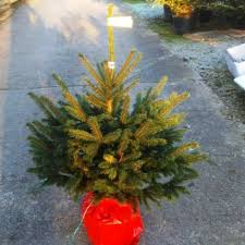 potted blue spruce spruce tree quality trees uk delivery