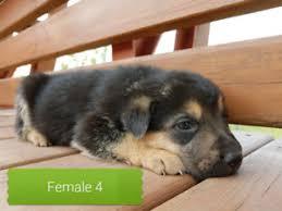affenpinscher breeders canada adopt local dogs u0026 puppies in canada pets kijiji classifieds