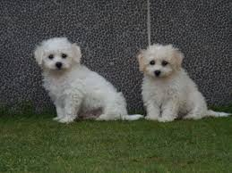 poodle x bichon frise related keywords u0026 suggestions for poodle x bichon frise