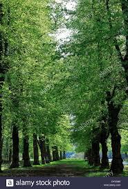 colours common lime tree avenue tilia x vulgaris