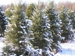 christmas tree prices up nationally local options remain steady