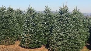 christmas tree prices oregon christmas tree shortage number of trees go prices go