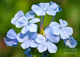 light blue flowers light blue plumbago flowers photograph by carol groenen