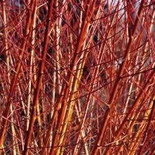 willow salix cuttings 8 2 free ornamental brilliant
