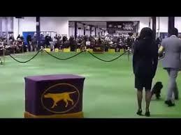 affenpinscher joe affenpinscher u0027banana joe u0027 wins westminster dog show 2013 youtube
