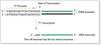 hiscribe t7 quick high yield rna synthesis kit neb