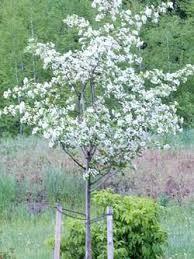 ornamental flowering trees calgary plants garden centre