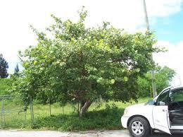 sea grape tree buy seagrape trees in florida