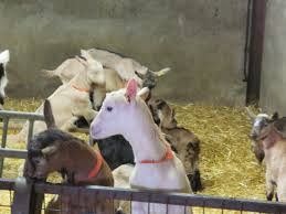 on a goat farm in france roadtripflavors roadtripflavors