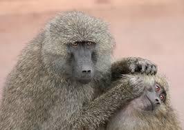 file grooming monkeys plw edit jpg wikipedia