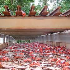 the 25 best christmas island crabs ideas on pinterest tourism