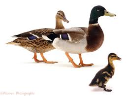 mallard duck drake and duckling photo wp05168