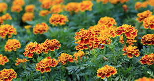 plants that keep mosquitoes away 9 plants for your garden that repel mosquitoes