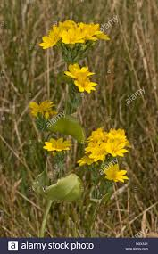 yellow wort blackstonia perfoliata in flower on coastal chalk