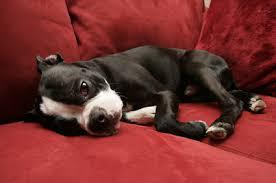 comment empecher chien de monter sur le canapé mon chien monte sur mes meubles que faire solutions canines