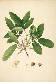 file 18th century illustration flora of the coast of coromandel