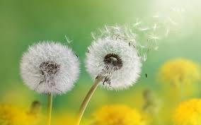 wallpaper dandelion flower florets blue sky 4k flowers 4837