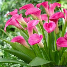 pink calla gem calla zantedeschia american