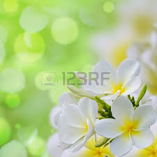 plumeria flower frangipani plumeria flowers border design stock photo picture and