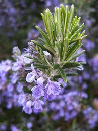 Flowers That Keep Mosquitoes Away Teresa U0027s Garden Song Mosquito Repellent Container Garden Plants