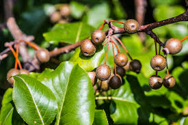 calleryana information learn about the care of callery pear trees