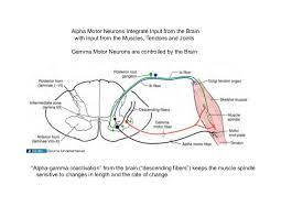 Visceral Somatic Reflex 03 09 09 B Spinal Cord U0026 Spinal Nerves Part I