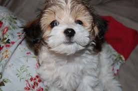 bichon frise jack russell for sale 14 ridiculously cute chihuahua mixes you have to see to believe
