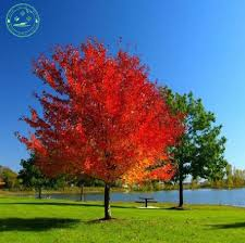 aliexpress buy potted plant seeds american blood maple