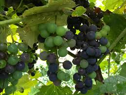 how to make grape jelly and grow the grapes judyschickens