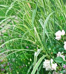294 best garden allium grass images on gardens