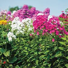 phlox flower bee s bouquet hardy phlox seeds from park seed