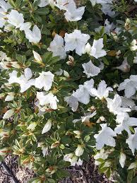 Azalea Topiary Azalea Magnifica Alba White Mail Order Online Nursery Ballarat