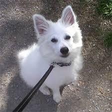 american eskimo dog new mexico american eskimo