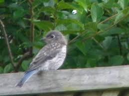 Backyard Birds Utah Identifying Backyard Birds Questions And Answers