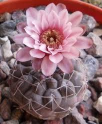 Flower Love Pics - best 25 cactus flower ideas only on pinterest desert flowers