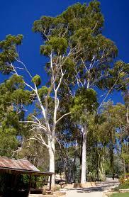 bamboo land nursery and parklands 62 best e u c a l y p t s e u c a l i p t o s images on