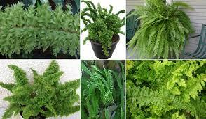 Types Of Indoor Plants Plants U0026 Flowers Sword Fern