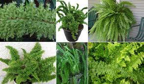plants u0026 flowers fishbone fern