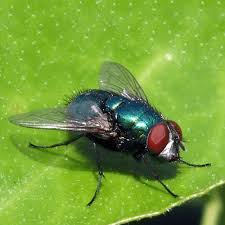 Getting Rid Of Flies In Backyard How To Get Rid Of Cluster Flies U2013 How To Get Rid Of Stuff