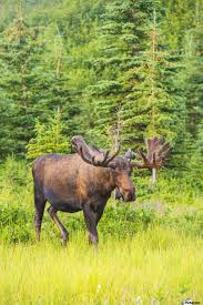 bull moose in velvet kincaid park anchorage southcentra alaska