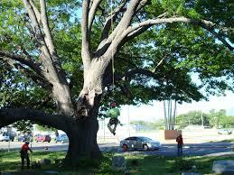 oak tree repair cbs dallas fort worth