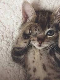 Sleepy Kitty Meme - please don t leave take me home https www facebook com