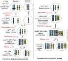 Polyploïdes fertiles et