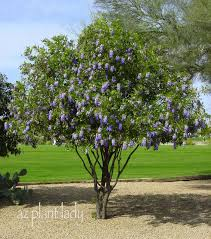 tree with purple flowers grape bubblegum flowers ramblings from a desert garden