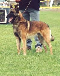 belgian sheepdog guard dog belgian shepherd dog breed information history health pictures