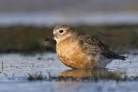 new zealand dotterel new zealand birds online
