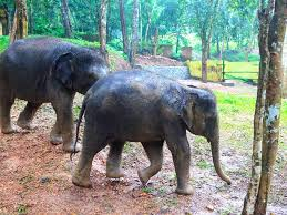 more than 200 kerala elephants die from dismal conditions the