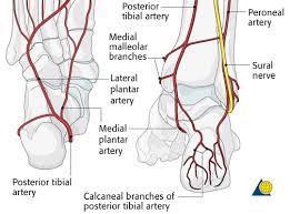 Anatomy Of The Calcaneus Calcaneus Approach Extended Lateral To Calcaneus Ao Surgery