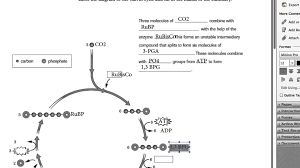 calvin cycle worksheet free worksheets library download and