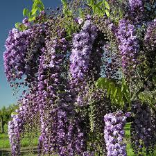 wisteria floribunda black dragon purple climbing wisteria trees